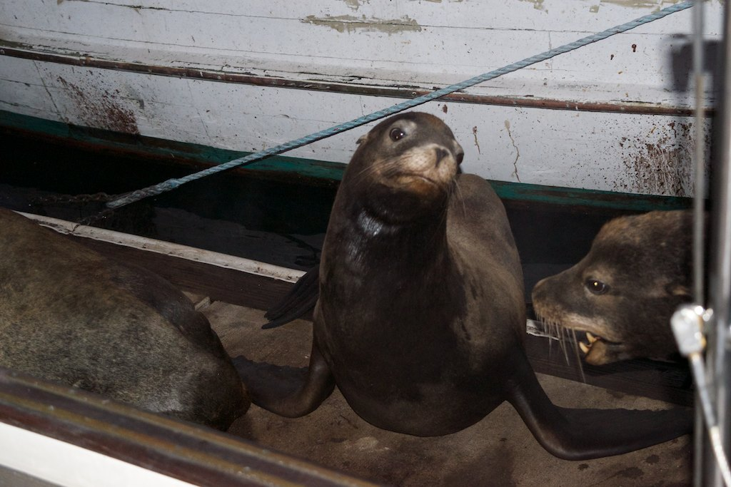 As the Sea Lion population started to grow exponentially alongside Pesto ...