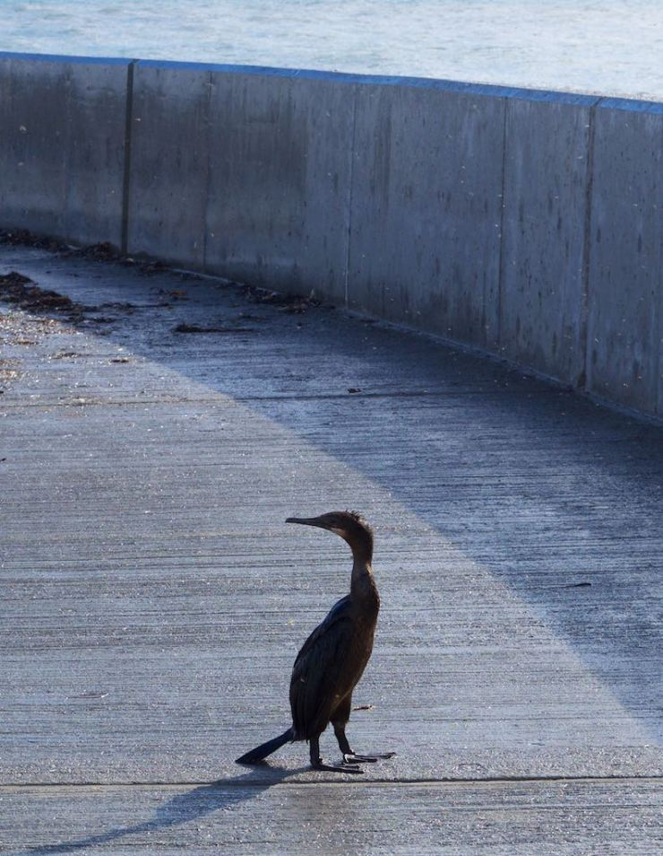 This cormorant was clearly disoriented, as if trying to put itself together after the ordeal of the previous hours.