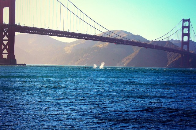 Whales under Golden Gate