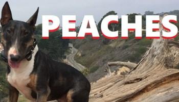 Before After Peaches Underdog Dog Training Santa Barbara - Pointer dog training     Owner saqib nawaz mumnana from rukkan