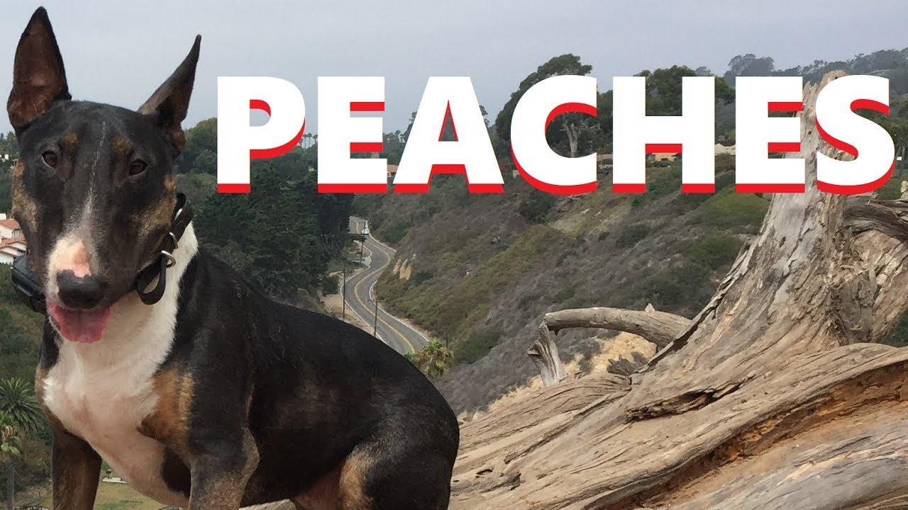 Before After Peaches Underdog Dog Training Santa Barbara - Before & After: Peaches - Underdog, Dog Training, Santa Barbara
