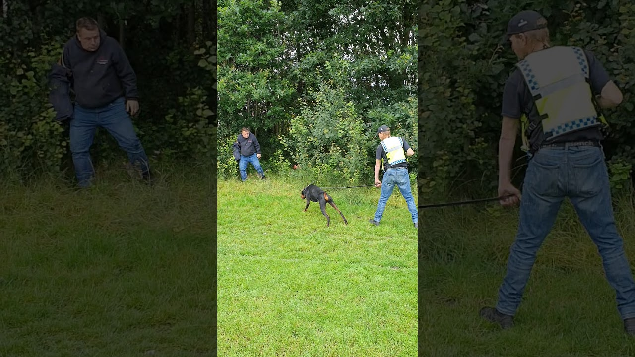 Kreider in early stages of Protection dog training - Kreider in early stages of   Protection dog training