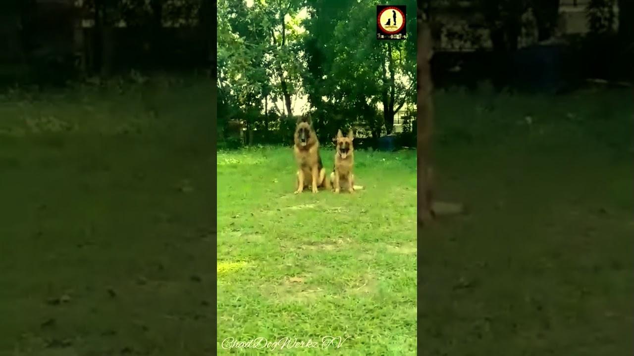 Double Dog training DOUg training Cebu Dog Training  - Double Dog training ( DOUg training ) ( Cebu Dog Training )