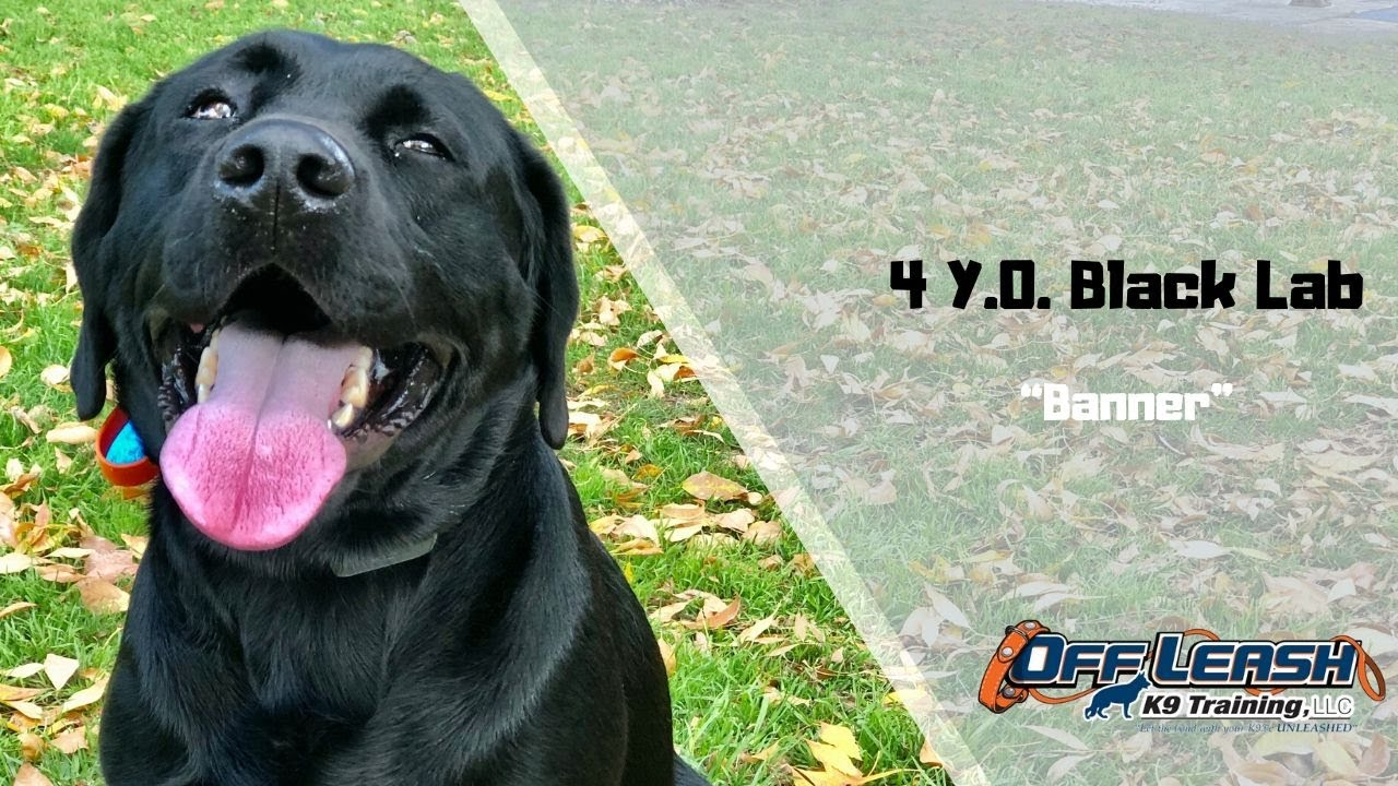 Black LabDog Training - Black Lab/Dog Training