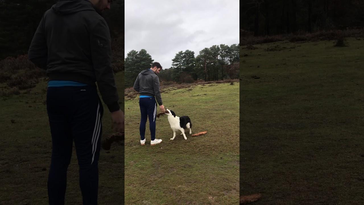 Dog Training Bella Border Collie Leave it Down - Dog Training: Bella (Border Collie) - Leave it, Down