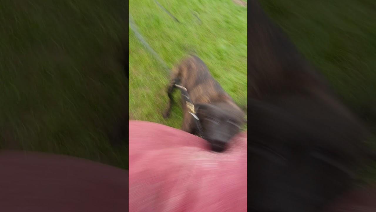 Zenas 4th protection dog training session - Zenas 4th protection dog training session
