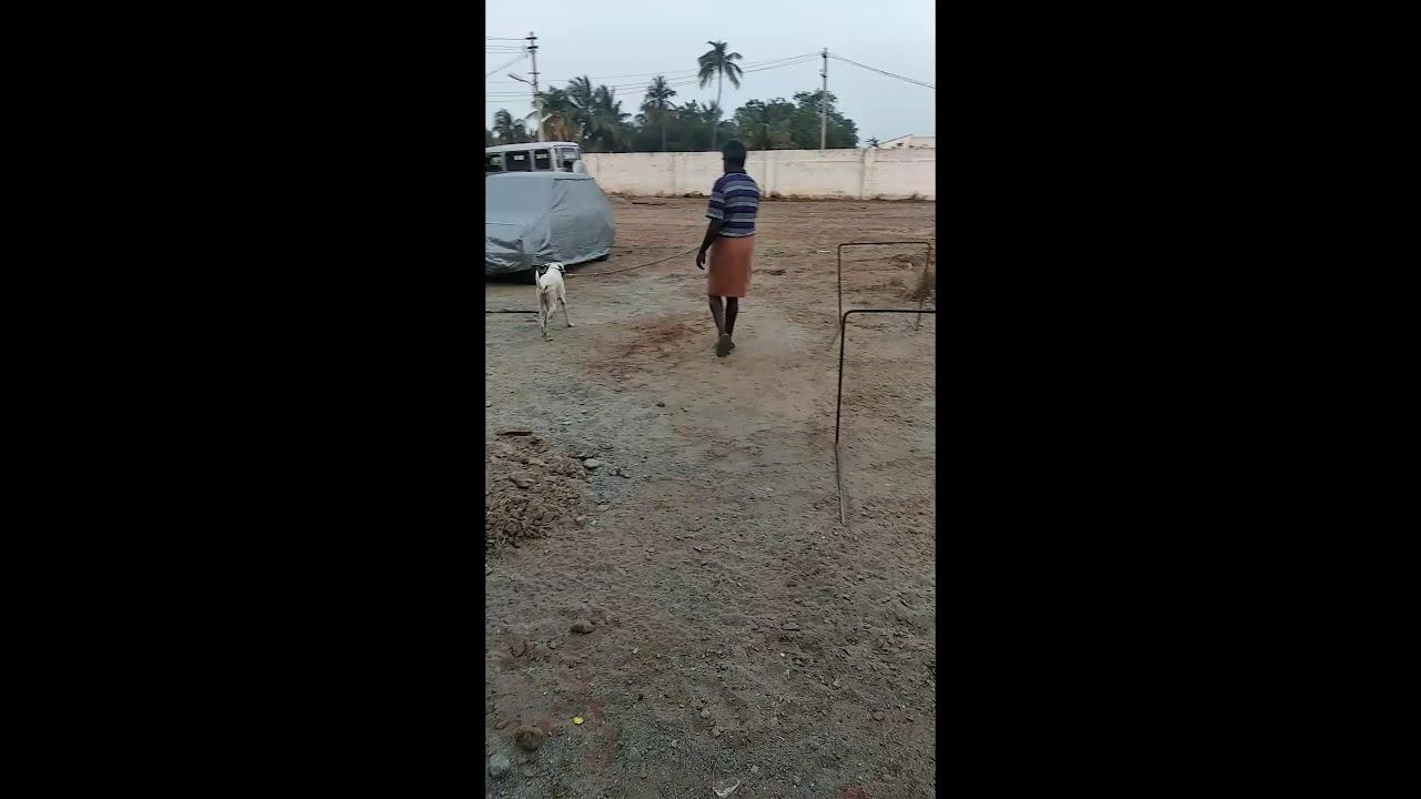 Rajapalayam Dog Training Video Part 1 rajapalayamdog chippiparai kanni kombai jallikattu - Rajapalayam Dog Training Video Part - 1 #rajapalayamdog #chippiparai #kanni #kombai #jallikattu