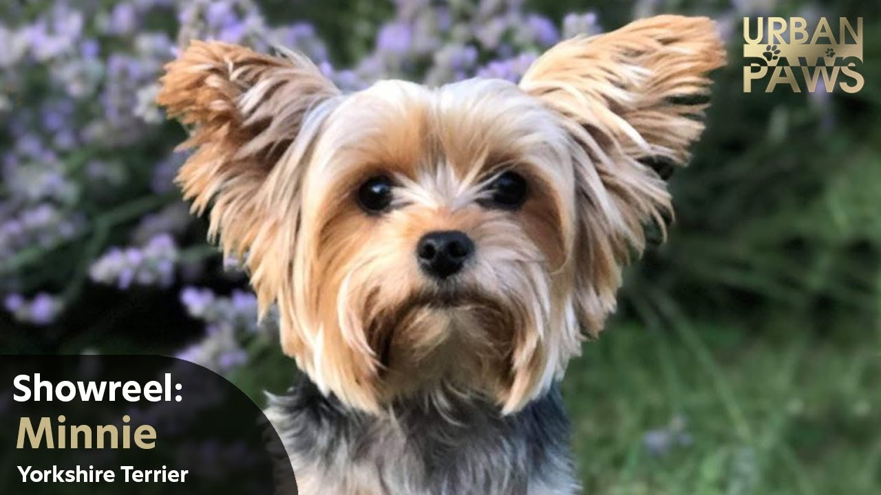 Dog Training Minnie Yorkshire Terrier - Dog Training: Minnie (Yorkshire Terrier)