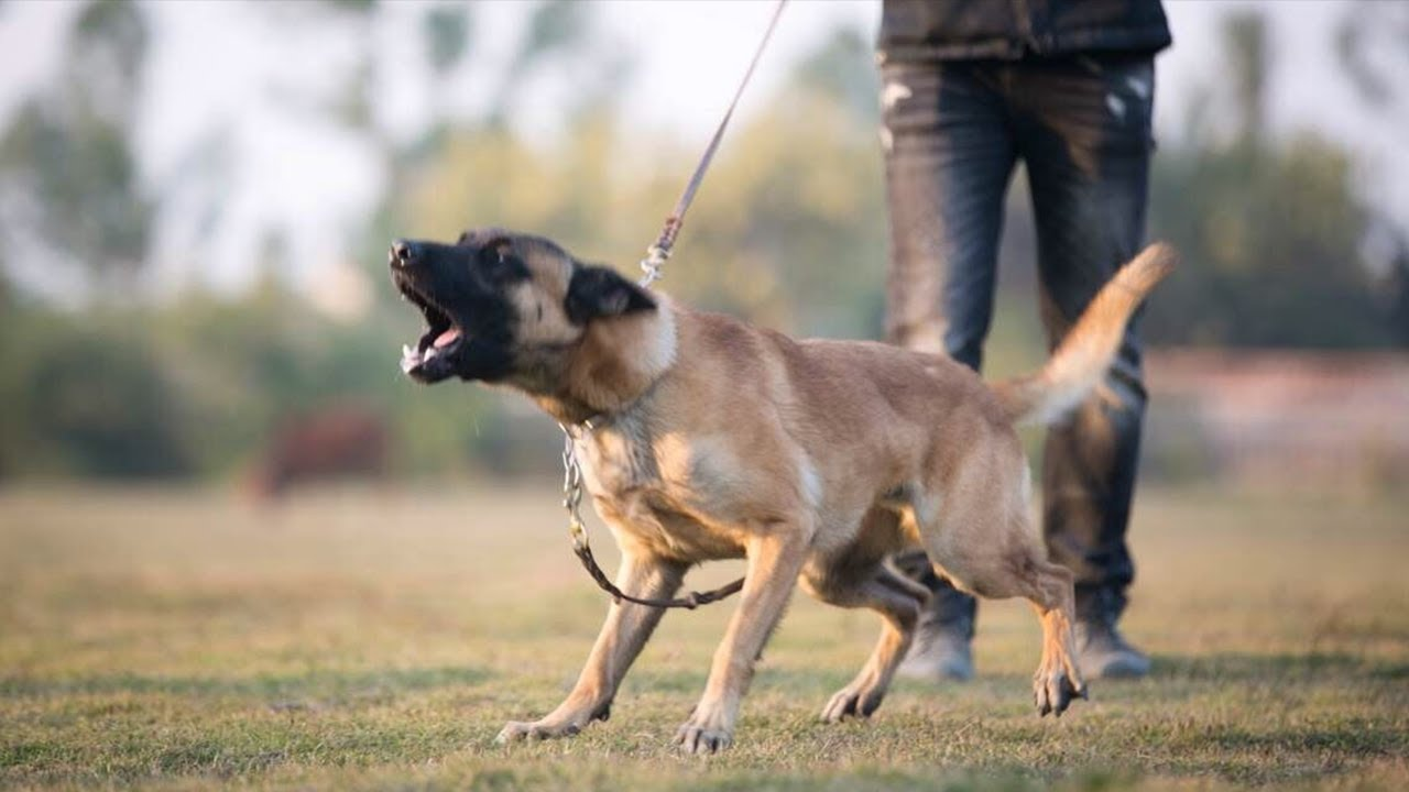 Malinois Dog Training The Best dog Jumping video you will ever see 2020 - Malinois Dog Training: The Best dog Jumping video you will ever see (2020)