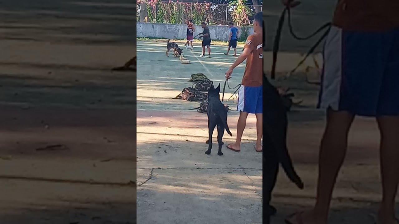 K9 dog training how to identify the boom PART 2 - K9 dog training  how to identify  the boom PART 2