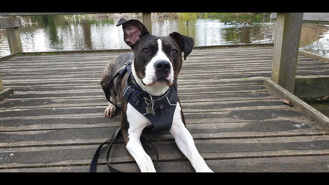 Ronnie the Staffie x 20 Days Residential Dog Training - Ronnie the Staffie x - 20 Days Residential Dog Training