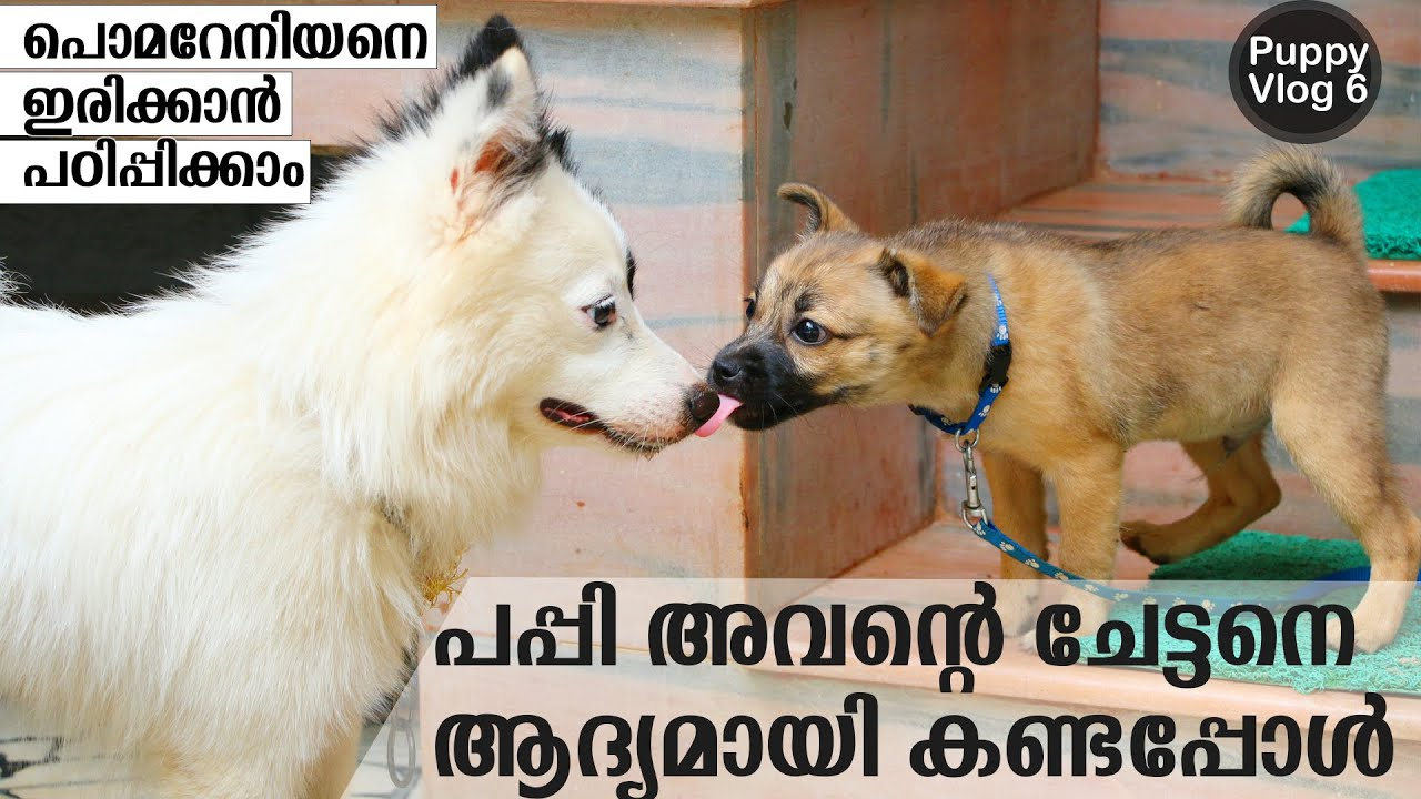 How to train a pomeranian dog to sit Adult Pomeranian Dog training sit command malayalam - How to train a pomeranian dog to sit | Adult Pomeranian Dog training | sit command malayalam