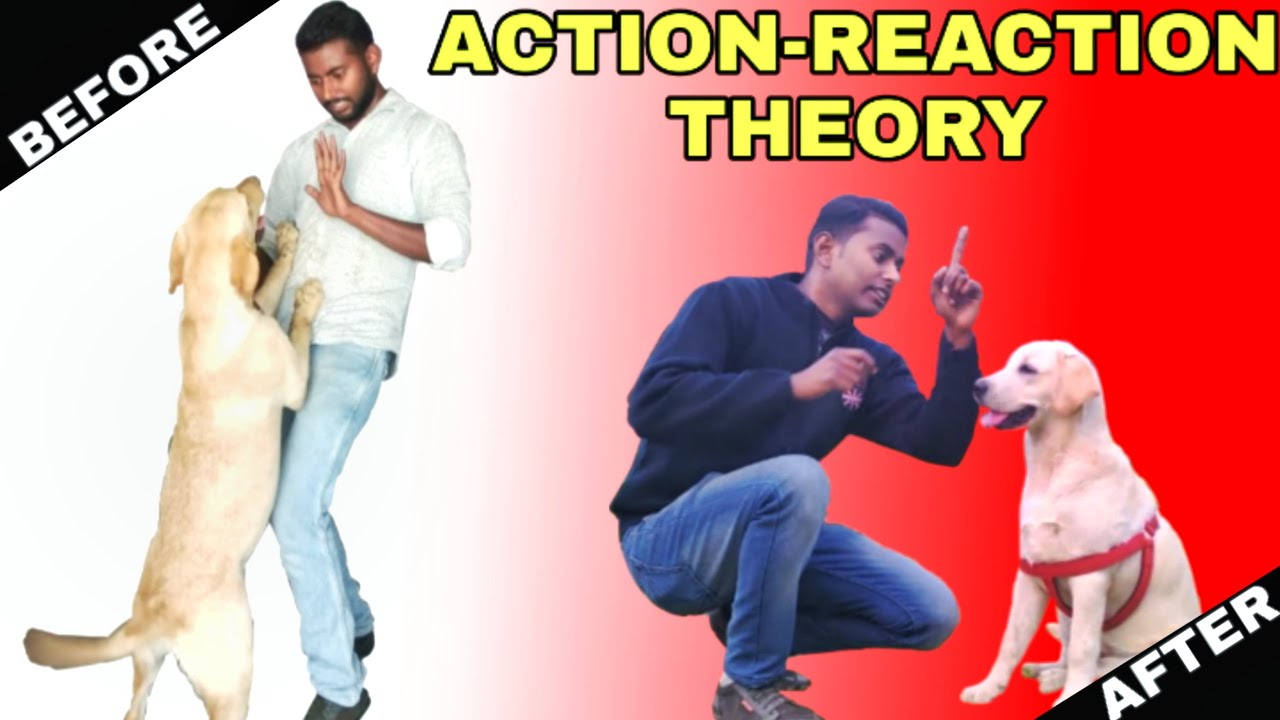Labrador Training Day 8th Dog Action Reaction Theory by Smart Dog Training - Labrador Training - Day 8th || Dog Action Reaction Theory by Smart Dog Training