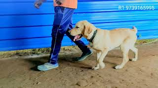 Labrador dog training with leash without leash dog training - Labrador dog training // with leash //without leash dog training
