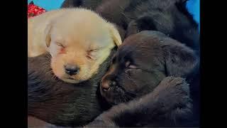 Puppies 5 Weeks old will begin service dog training soon - Puppies 5 Weeks old - will begin service dog training soon!
