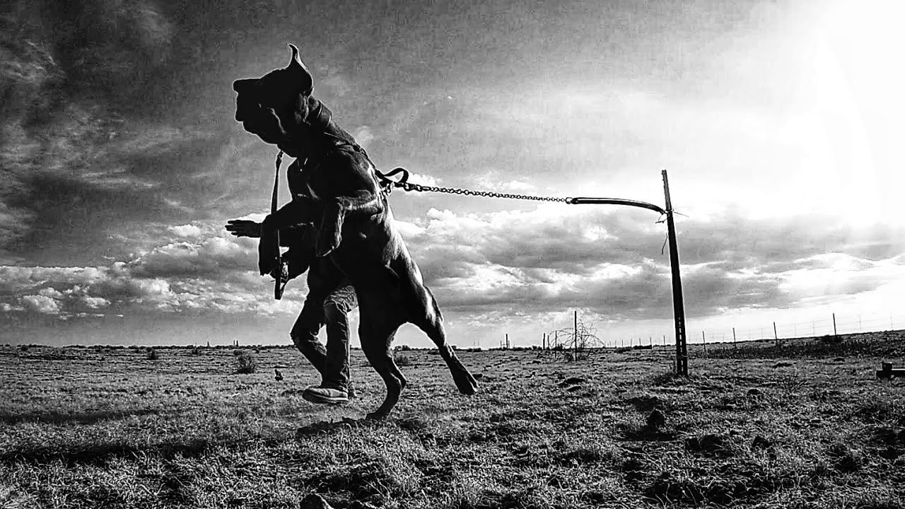 Cane Corso completes level 1 guard dog training - Cane Corso completes level 1 guard dog training!