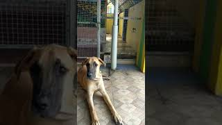 Great Dane dog training - Great Dane dog training