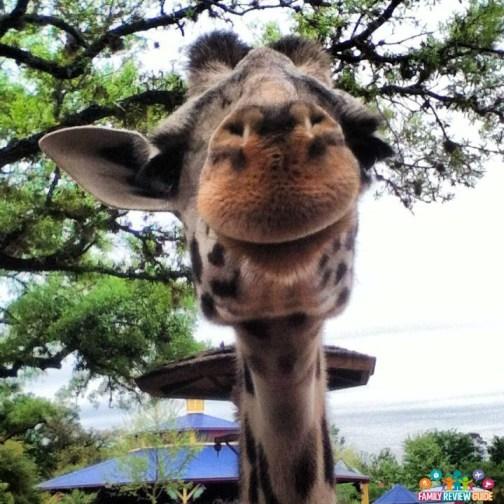 girraffe_zoo_face