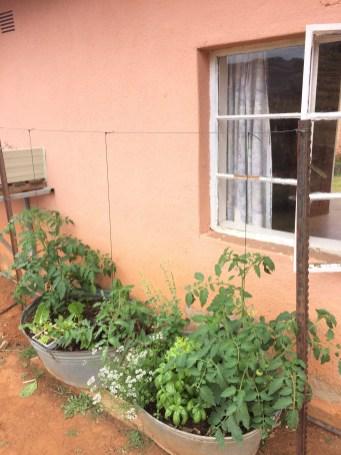 Alle Arten von Gemüse bauen die Missionare an um sich selbst zu versorgen.