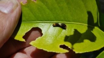 Ein Papilio demoleus. Die Larve eines Zitronenfalters zerfrisst die Blätter unseres kleinen Zitronenbaumes. Hier ist Handarbeit bei der Schädlingsbekämpfung gefragt.