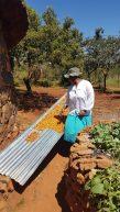 Die Frau vom Chief zeigt uns wie man Früchte verarbeitet und trocknet um sie für den Winter haltbar zu machen.