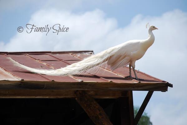 white peacock (aka albino peacock) at The Leo Carillo Ranch in San Diego