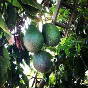 Mimi Avocado's Avocado Grove