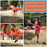 Flamingoes star at Ardastra Gardens
