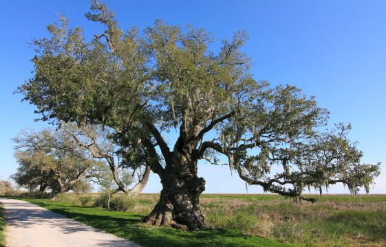 Chenier Perdue Oak. Photo Credit: Lake Charles CVB, used with permission.
