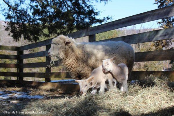 Sheep at Ash Lawn-Highland