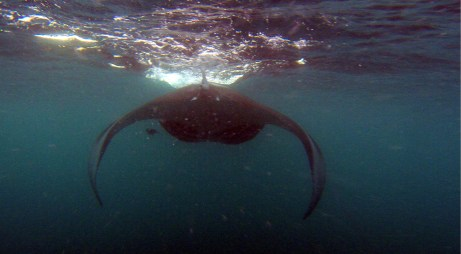 Fast swimming manta, no one could keep up with these guys.