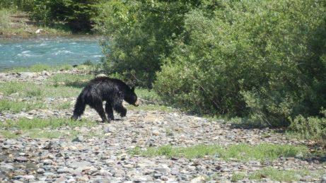 Wet bear shaking down.