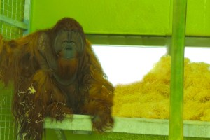 orangutan zoologico indianapolis