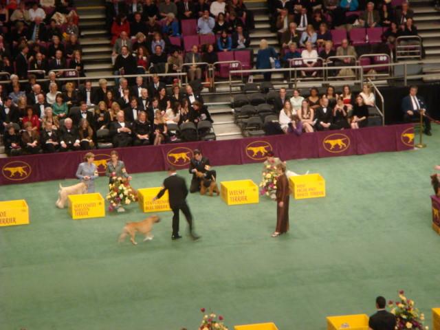 20080211-westminster-22-american-staffordshire-terrier-_9.jpg