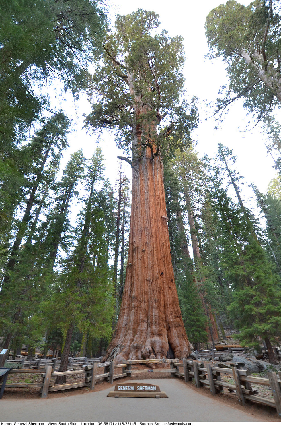 Image result for general sherman tree