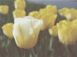 Golden-Yellow with a whote collar: The Heineken Tulip