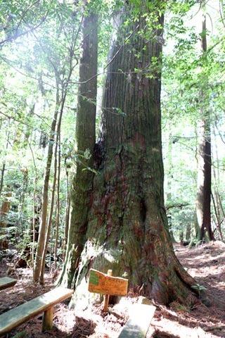 《千本山》魚梁瀬杉の大木に囲まれてタイムトリップ: 土佐山歩~とささんぽ