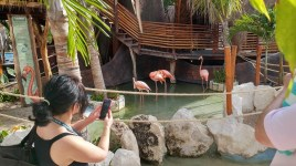 Flamingos in Belize.