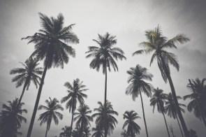 Luxurious-Palm-Trees