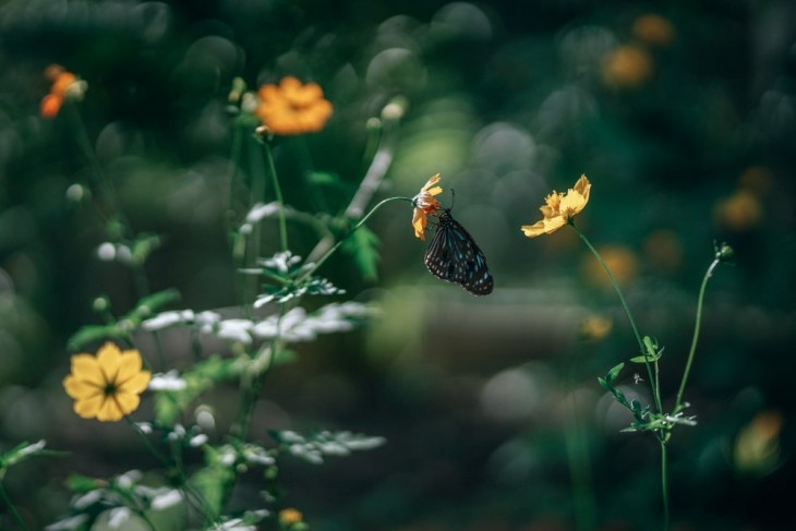 Black-and-Blue-Butterfly-on-a-Yellow-Flower