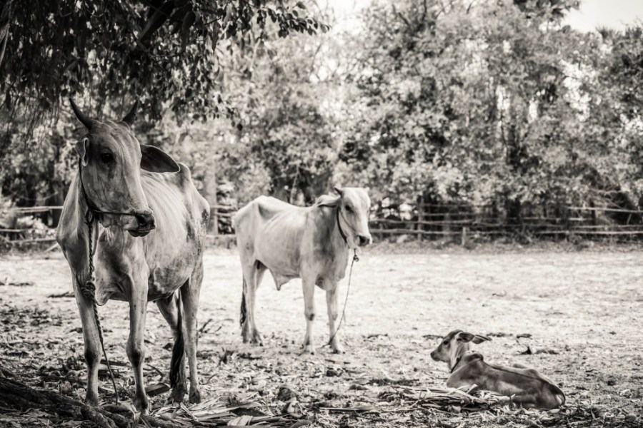 Black-and-White-Photography-of-Cows-on-a-Cambodian-Farm