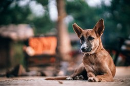 Brown-Dog-with-his-Ears-up-Laying-Down-and-Looking-towards-the-Camera