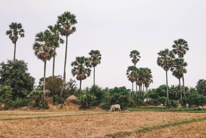 Cambodian-Farm-Fields-with-Tall-Palm-Trees