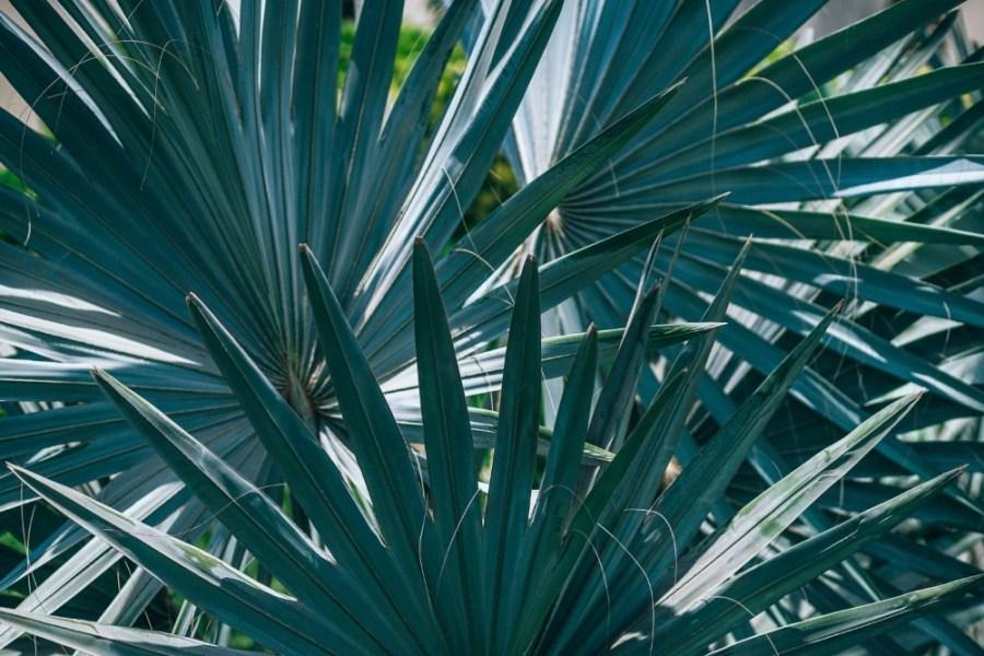 Close-up-view-of-Bismarack-palm-tree-leaves