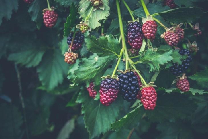 Close-up-Shot-of-Blackberries-Growing