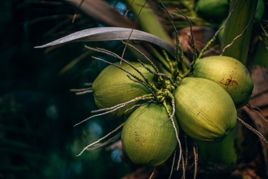 Close-up-Shot-of-Green-Coconuts-during-a-Tropical-Evening