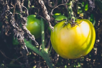 Close-up-Shot-of-a-Green-Tomato-Growing