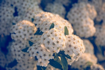 Close-up-Shot-of-Magnificent-White-Flowers