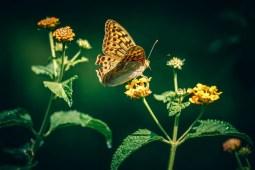 Close-up-Shot-of-an-Amazing-Golden-Butterfly