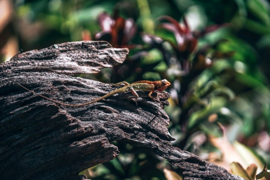 Colorful-Tropical-Lizard-Chilling-on-a-Tree-Log-in-Morning-Light